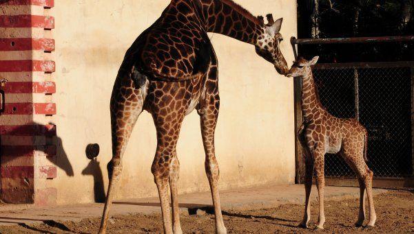 Las jirafas no tienen cuerdas vocales