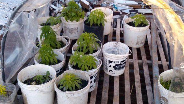 Detuvieron a tres personas por tener un vivero de marihuana