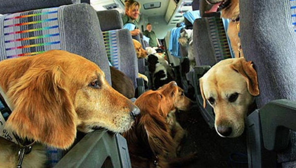 Alertan que se roban un perro de raza cada 7 horas