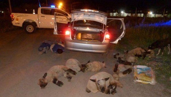 Robaron 8 ovejas... ¡y se las llevaron en remís!