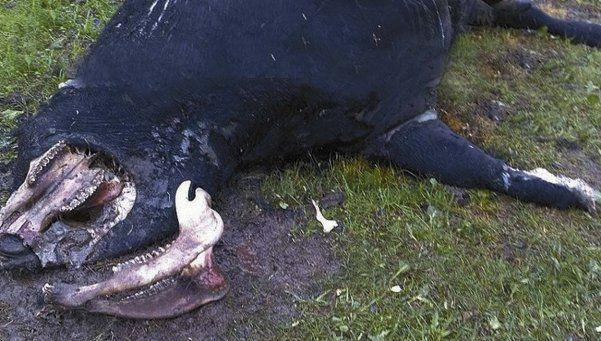 Alarma por la mutilación de ganado en Villaguay