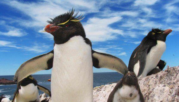 Pingüinos de penacho amarillo llegan al Sur