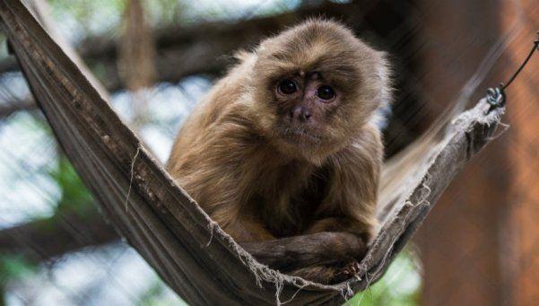 Nicolás, el mono que logró superar su adicción al alcohol