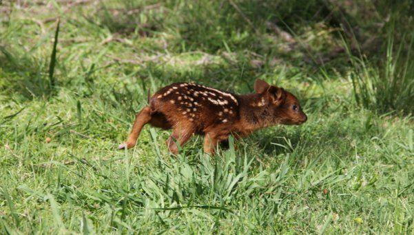 Nació un pudú, el ciervo más pequeño del mundo
