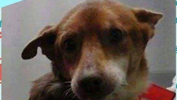 Buscan a Oro, un perro discapacitado que quedó dentro de un auto robado