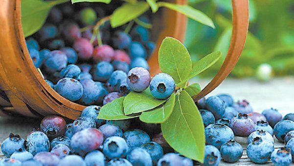 Arándanos, la fruta que aporta salud