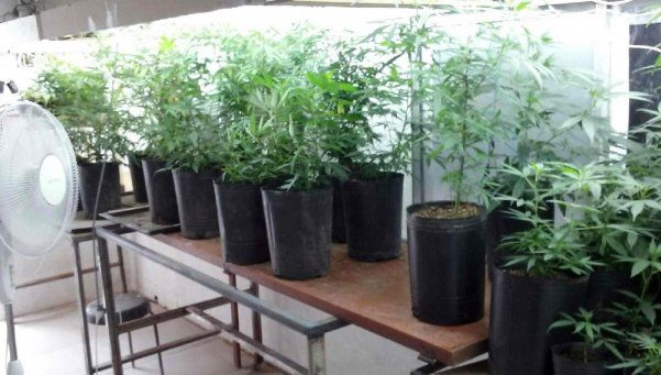 Tigre: cayó banda narco con un invernadero de cannabis