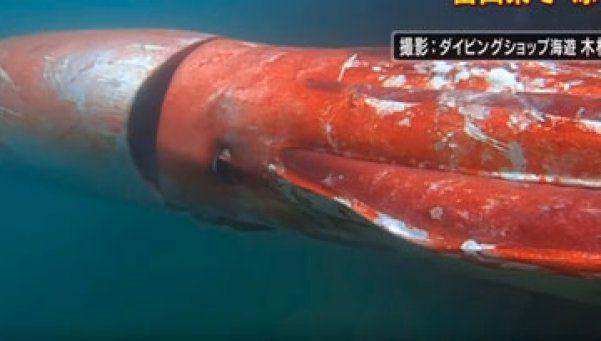 Video | Calamar de 14 metros apareció en las costas de Japón
