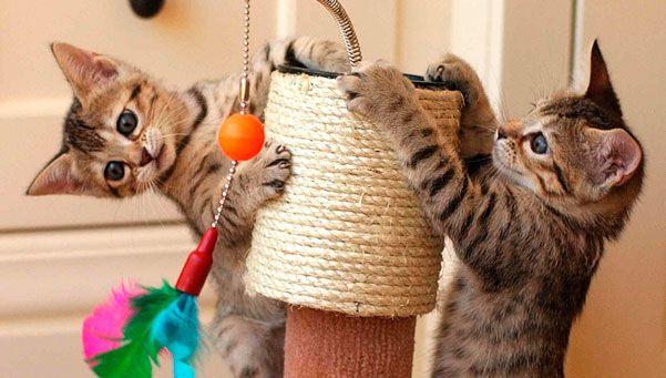 Rascar Todo: Una conducta muy natural en los gatos