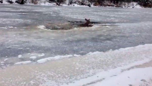 Puso en riesgo su vida para salvar a un ciervo en un río congelado