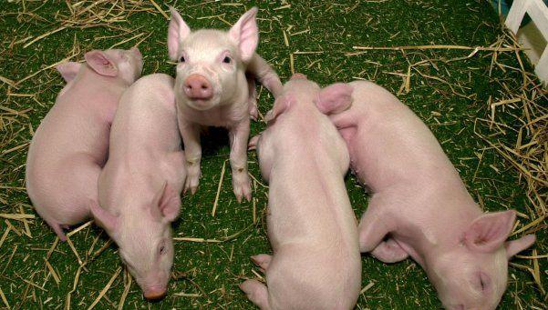 Planean producir cerdos para donar órganos
