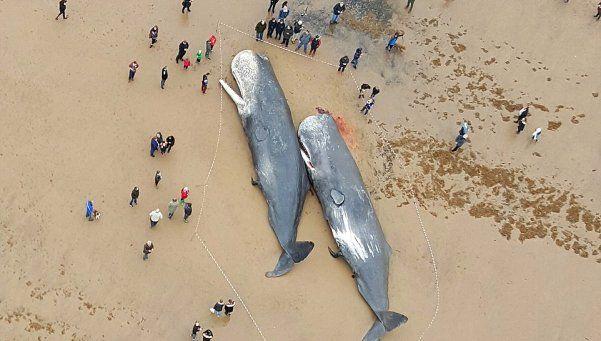 Cuatro ballenas amanecieron muertas en una playa inglesa