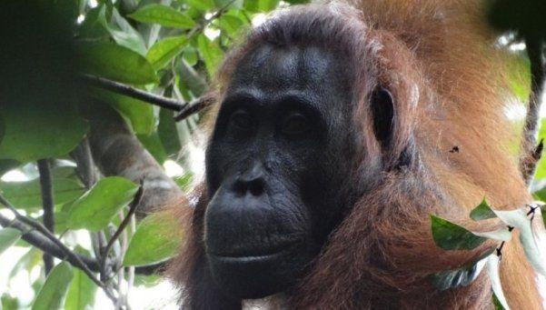 Insólito: orangutanes planearon un asesinato