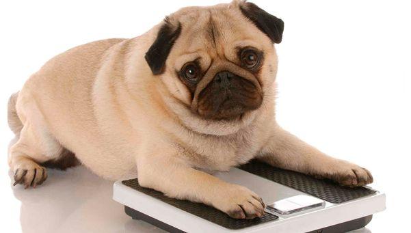 Consejos para cuidar las mascotas de la obesidad
