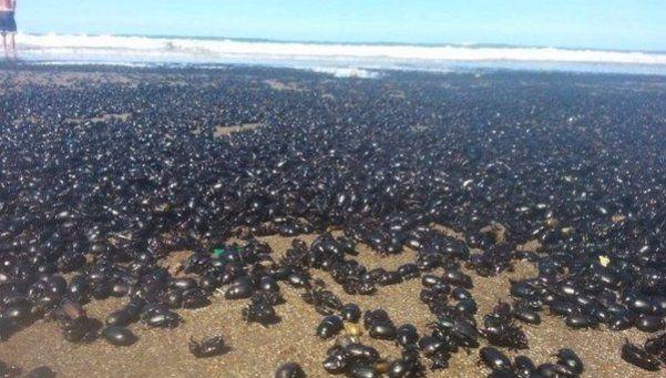 Escarabajos invadieron las playas de Mar de Ajó y San Bernardo