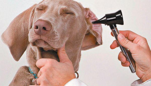 Cómo detectar que el perro sufre de sordera