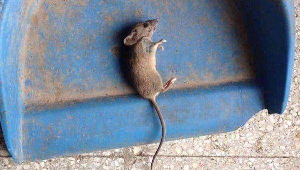 Quilmes: una invasión de ratas dejó sin almuerzo a 400 chicos