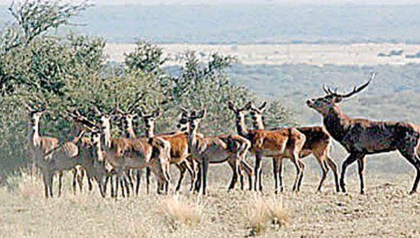 El encantador bramido de los ciervos de Luro