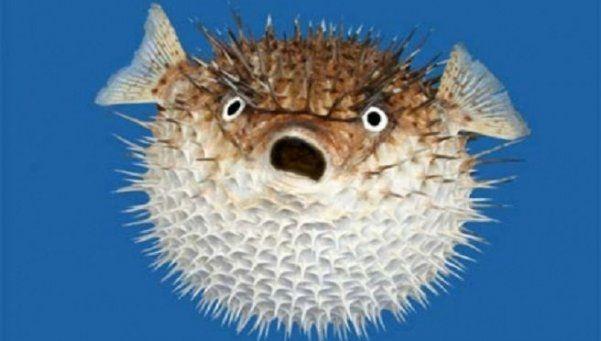 El pez globo se infla para sobrevivir