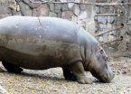 Mendoza: apuntan a veterinarios por hipopótamo que fue baleado