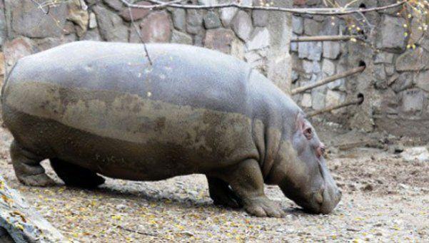 Denuncian que balearon a un hipopótamo en el zoo de Mendoza