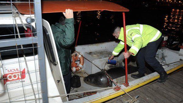 Rescataron a un elefante marino de 400 kilos