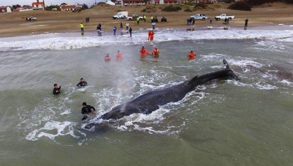 Intentan rescatar a una ballena que encalló en la costa de Mar del Tuyú