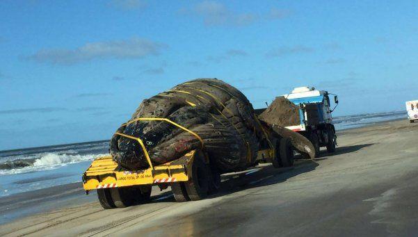 Galería | Así fue el traslado de la ballena muerta en la Costa