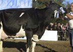 Por la crisis en el sector, La Rural se queda sin vacas lecheras