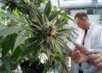 Neuquén aprueba el uso del cannabis medicinal