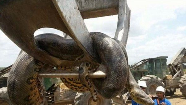 Obreros de Brasil encuentran una anaconda de ¡400 kilos!