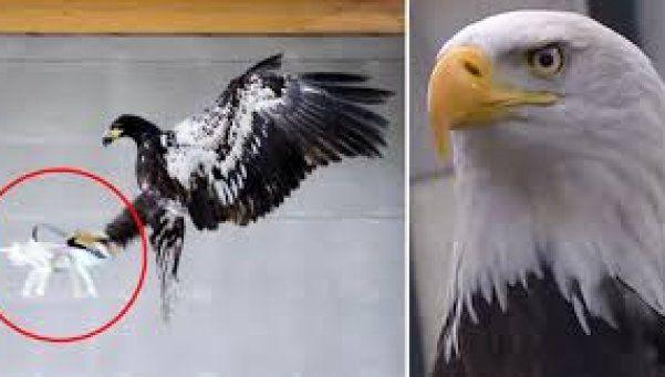 Alta en el cielo... un águila antidrone