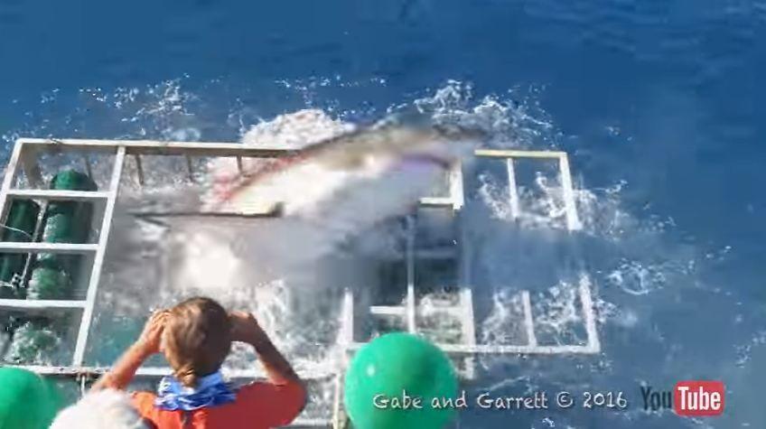 Video | Tiburón blanco rompió la jaula de un buzo y…