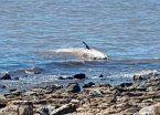Apareció una ballena bebé muerta en Vicente López