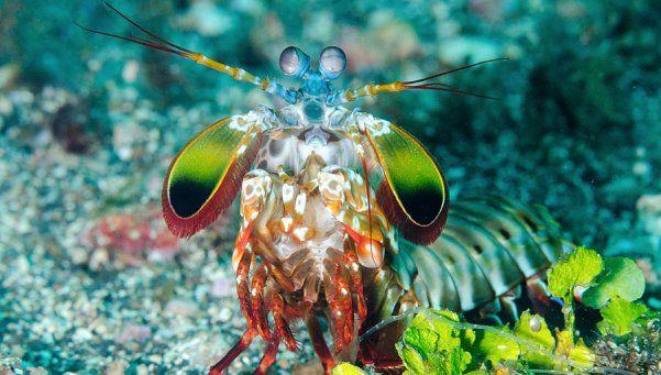 El camarón mantis puede romper cristales