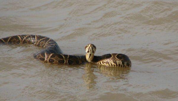 Alertan por aparición de yararás en el río de Quilmes