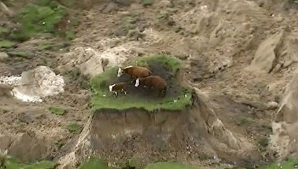 Video | Las vaquitas no son ajenas al terremoto de Nueva Zelanda