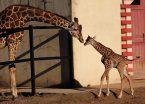 Las jirafas están en peligro de extinción