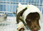 Un detenido por el brutal asesinato del perro Chocolate