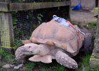"""Una tortuga quedó discapacitada por """"desenfreno sexual"""""""