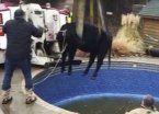 Rescataron a vaca que quedó atrapada en una pileta