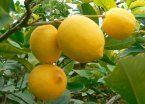 Gestión Trump: EEUU suspendió la importación de limones argentinos
