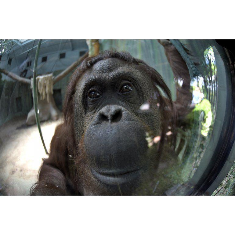 La orangutana Sandra será trasladada a EEUU