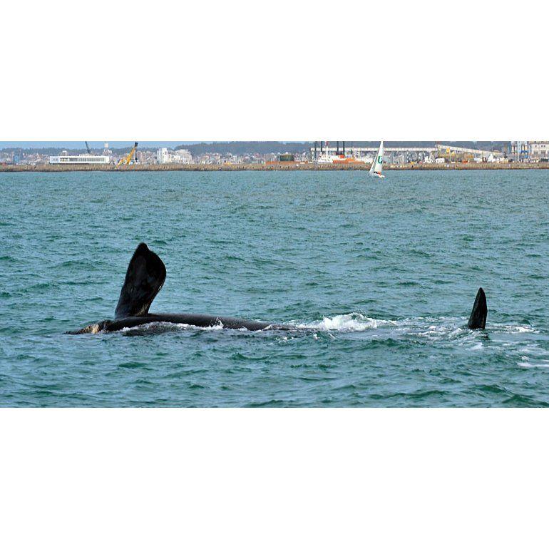 Video   Aparecieron ballenas en las costas de Mar del Plata