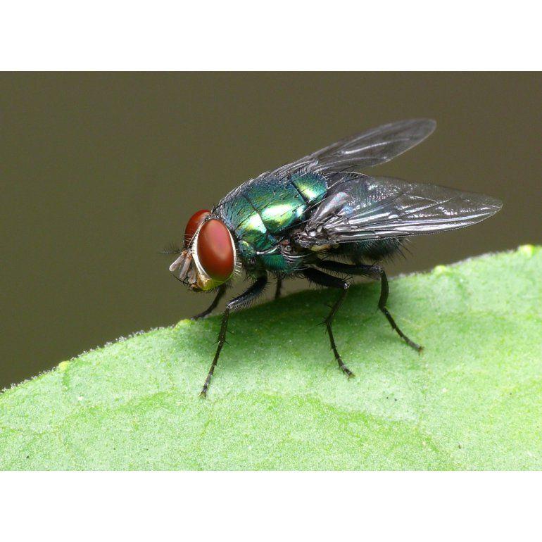 Descubren que hay moscas que tienen pensamientos