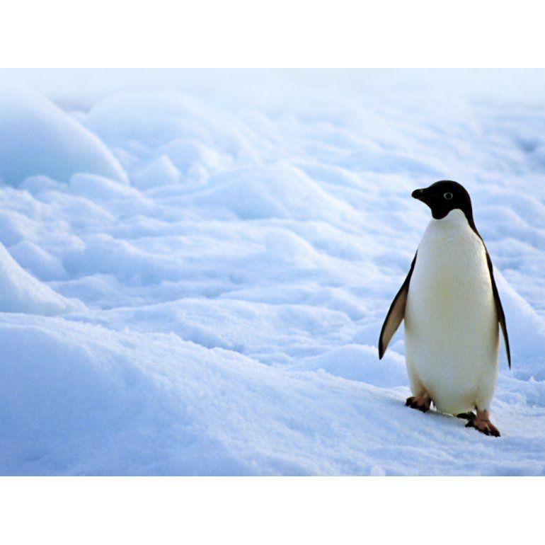 Hallan restos de pingüino gigante de dos metros en la Antártida