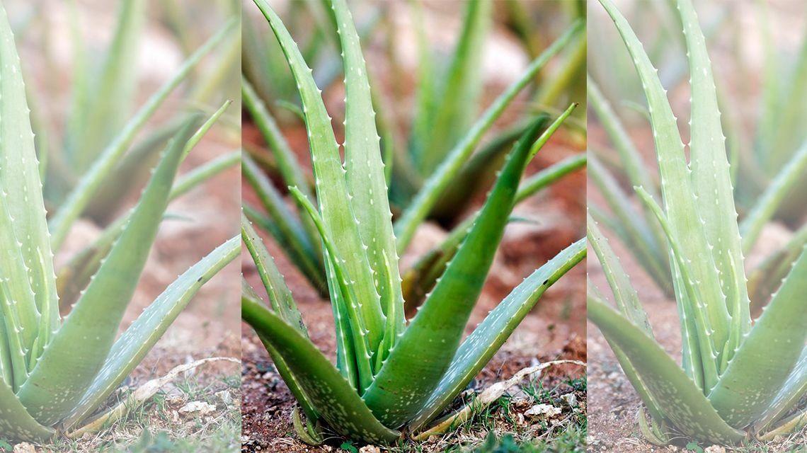 Blog del aloe y moringa aloe vera la planta de m ltiples beneficios - Como es la planta de aloe vera ...