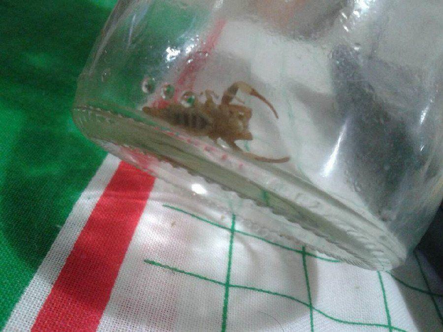 Hallan  peligroso escorpión en una vivienda de Bernal
