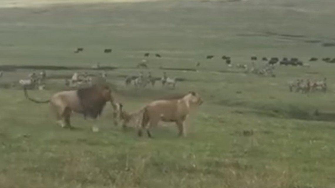 Video | Ma que Rey de la selva: un perro enfrentó a dos leones y los mordió
