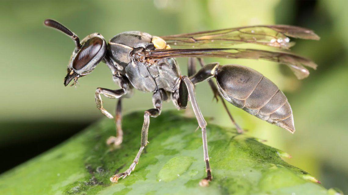 Ni avispas ni abejas: revelan qué insecto invadió a Mar del Plata